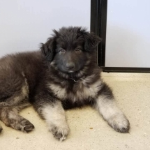 Red, Shiloh Shepherd, Puppy, Maryland