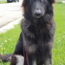 Red, Shiloh Shepherd, Puppy, 7 months, Maryland, dog