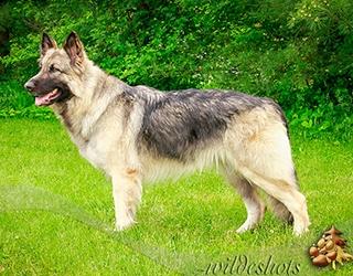 Skye Standing, shiloh shepherd, maryland, breeder