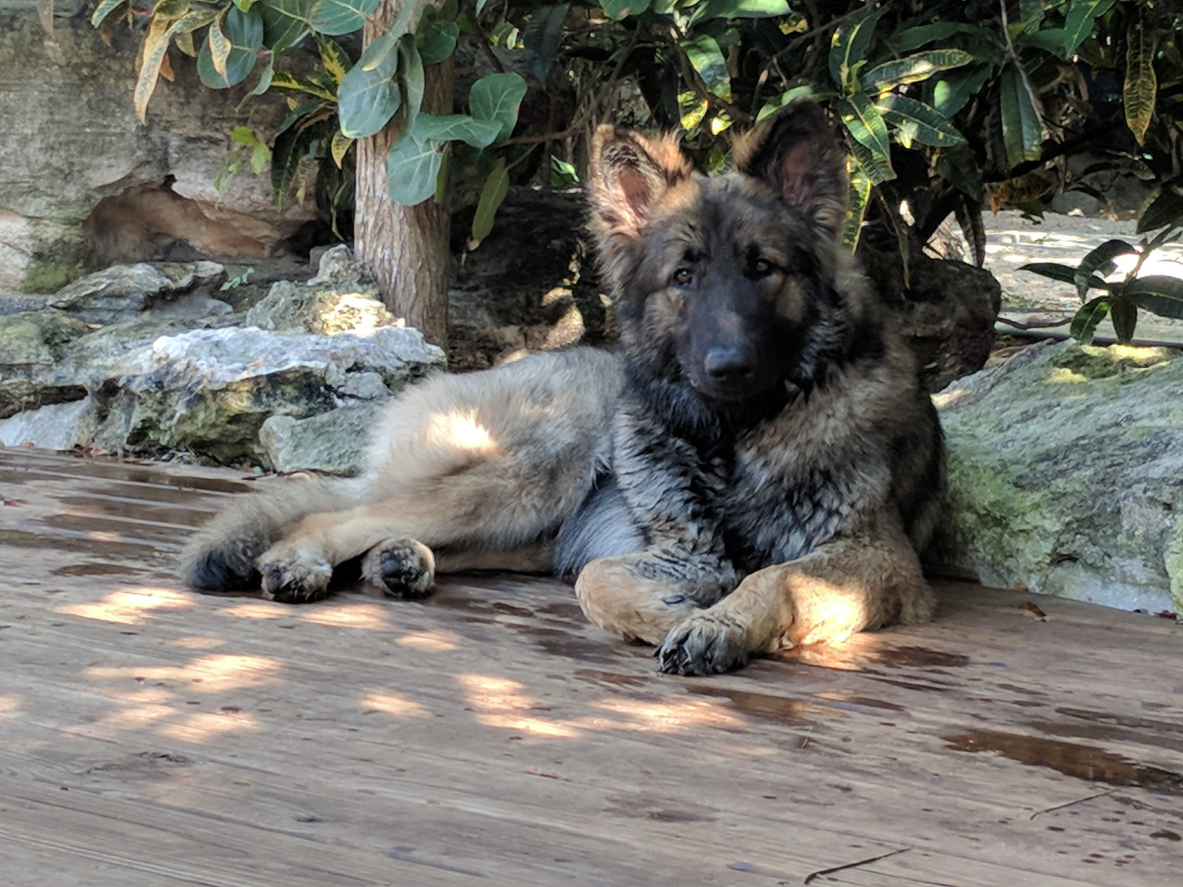 Shiloh Shepherd, Dog, Maryland, Bahamas