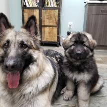 skye, shiloh shepherd, puppy, breeder, maryland, storybrooke