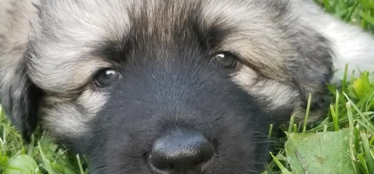 Skye/Osiris Puppies May 2019