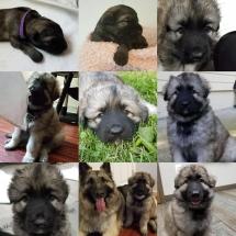 skye, shiloh shepherd, puppy, breeder, maryland, storybrooke, Osiris, Anna