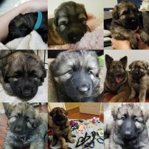 skye, shiloh shepherd, puppy, breeder, maryland, storybrooke, Osiris, Grimm