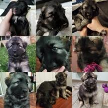 skye, shiloh shepherd, puppy, breeder, maryland, storybrooke, Osiris, Jesse