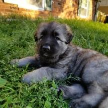 Skye, Osiris, Shiloh Shepherd, dog, puppy, Storybrooke Shilohs, breeder