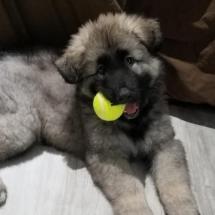 Gus Tennis Ball